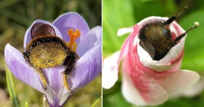 Exhausted Bumblebees Fell Asleep Inside Flowers With Pollen On Their Butts